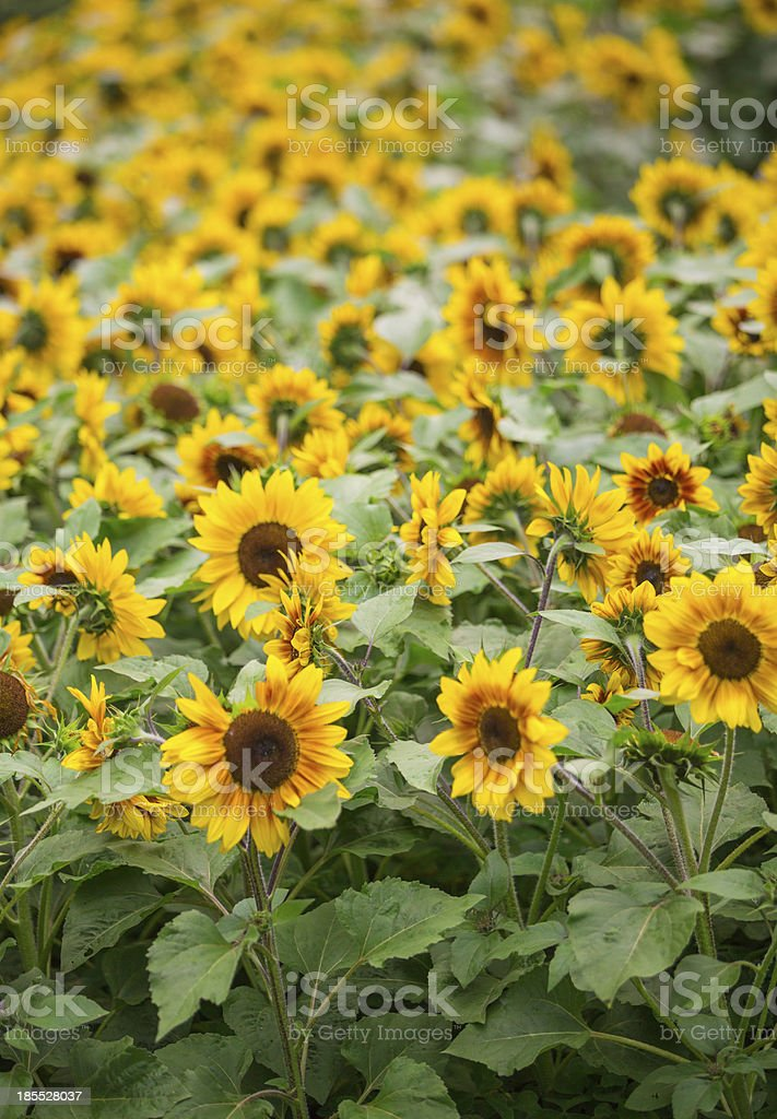 blooming Sun flower bed royalty-free stock photo