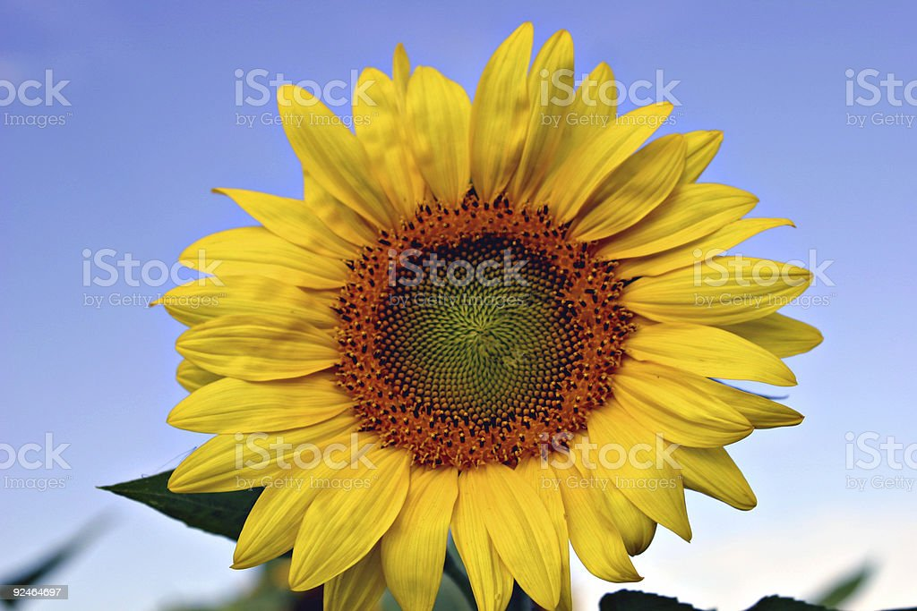 Blooming Sunflower (Helianthus) Close-up On A Bright Blue Sky royalty-free stock photo