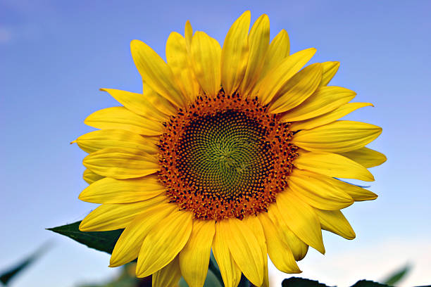 Blooming Sunflower (Helianthus) Close-up On A Bright Blue Sky stock photo