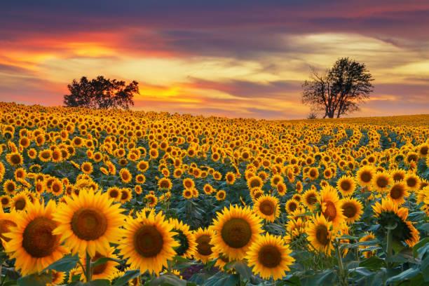 Blooming sunflower field picture id877356936?b=1&k=6&m=877356936&s=612x612&w=0&h=orcjulh1xwuatk1xnowcg zhn xj r2gnzwups1s8wi=