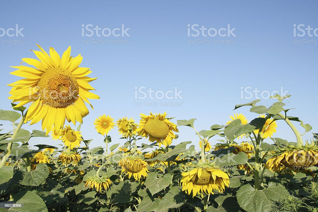blooming sunflower field royalty-free stock photo