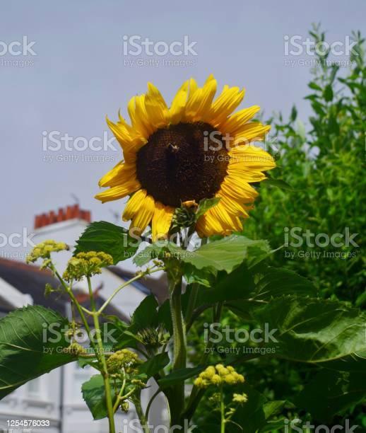 Blooming sunflower picture id1254576033?b=1&k=6&m=1254576033&s=612x612&h=el357xjq2p5qidjztcnwqdntjfy egueutvn0aqc6ic=