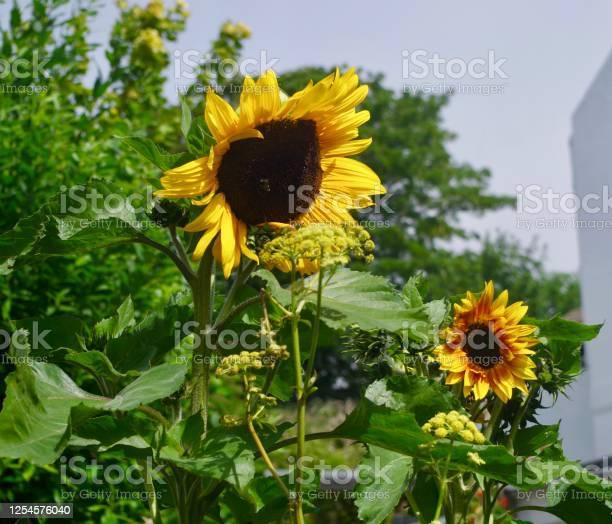 Blooming sunflower picture id1254576040?b=1&k=6&m=1254576040&s=612x612&h=ax5q hf9niipdo 1sjkbugbuhw8asde92fgoy3n9zim=