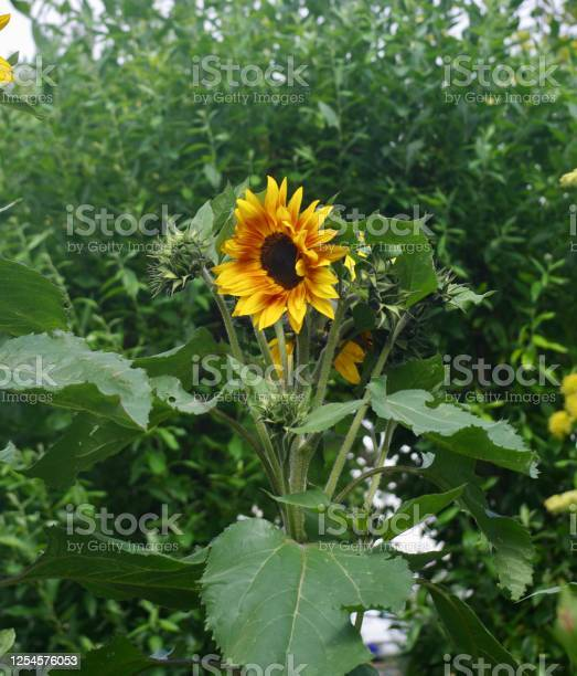 Blooming sunflower picture id1254576053?b=1&k=6&m=1254576053&s=612x612&h=bbfcvkbcjt5iitsgju syuyndenz4isxcrtxrkrxfpe=