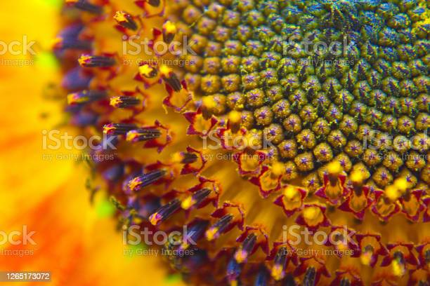 Photo of Blooming Sunflower