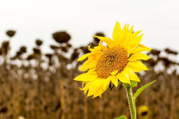 Blooming sunflowers on a background of dried fields. Always be positive despite the environment. Blooming sunflowers on a background of dried fields. Always be positive despite the environment. despite stock pictures, royalty-free photos & images