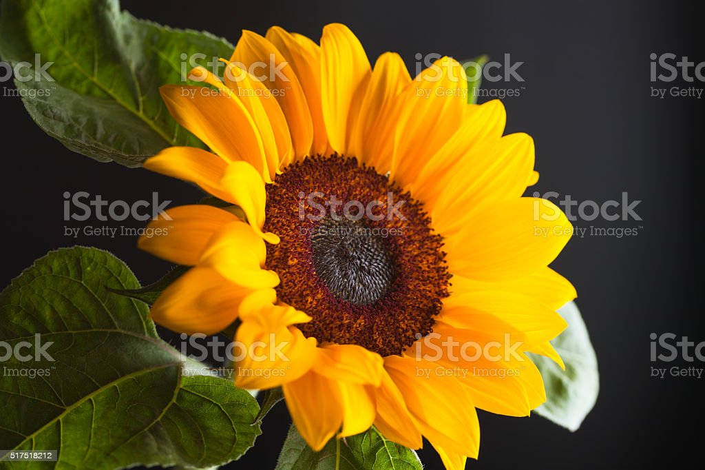blooming sunflowers studio shot with black background stock photo
