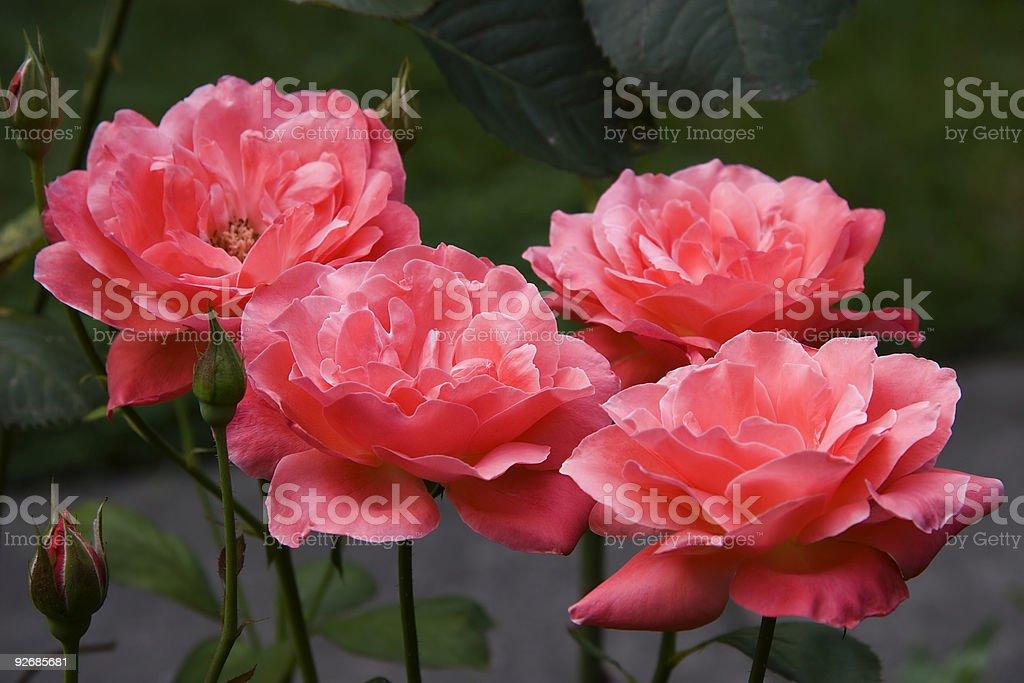 Blooming Tea Roses royalty-free stock photo