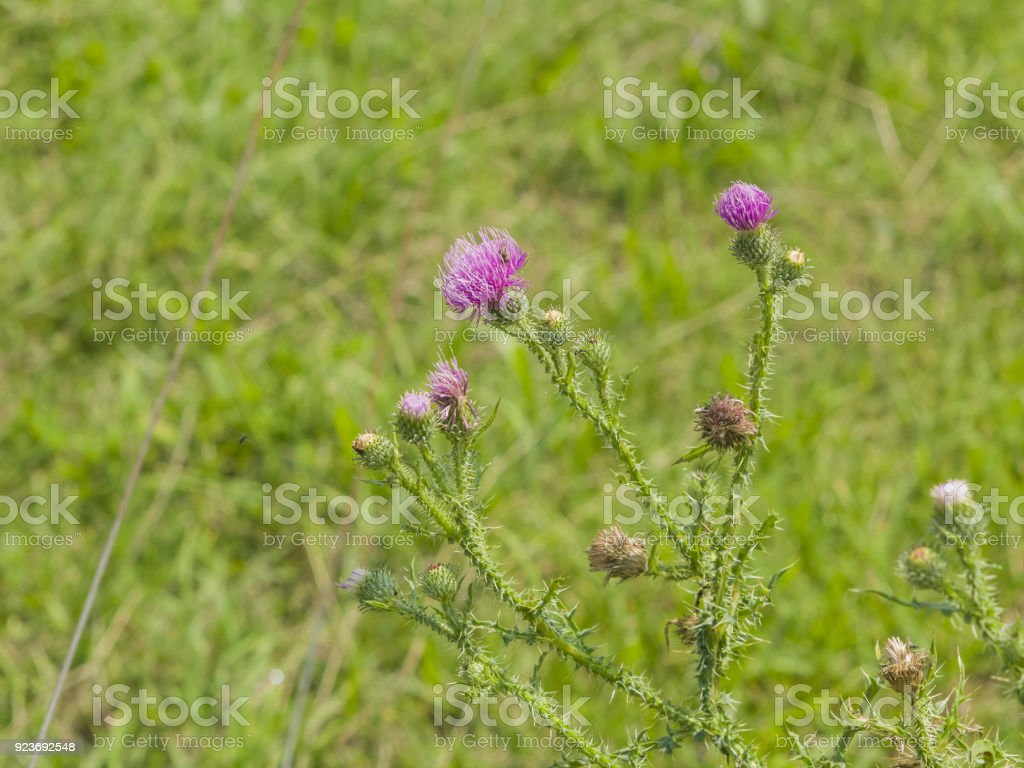 Blooming Thistle, Carduus, flowers, buds and riping seeds on stem macro with bokeh background, selective focus, shallow DOF stock photo