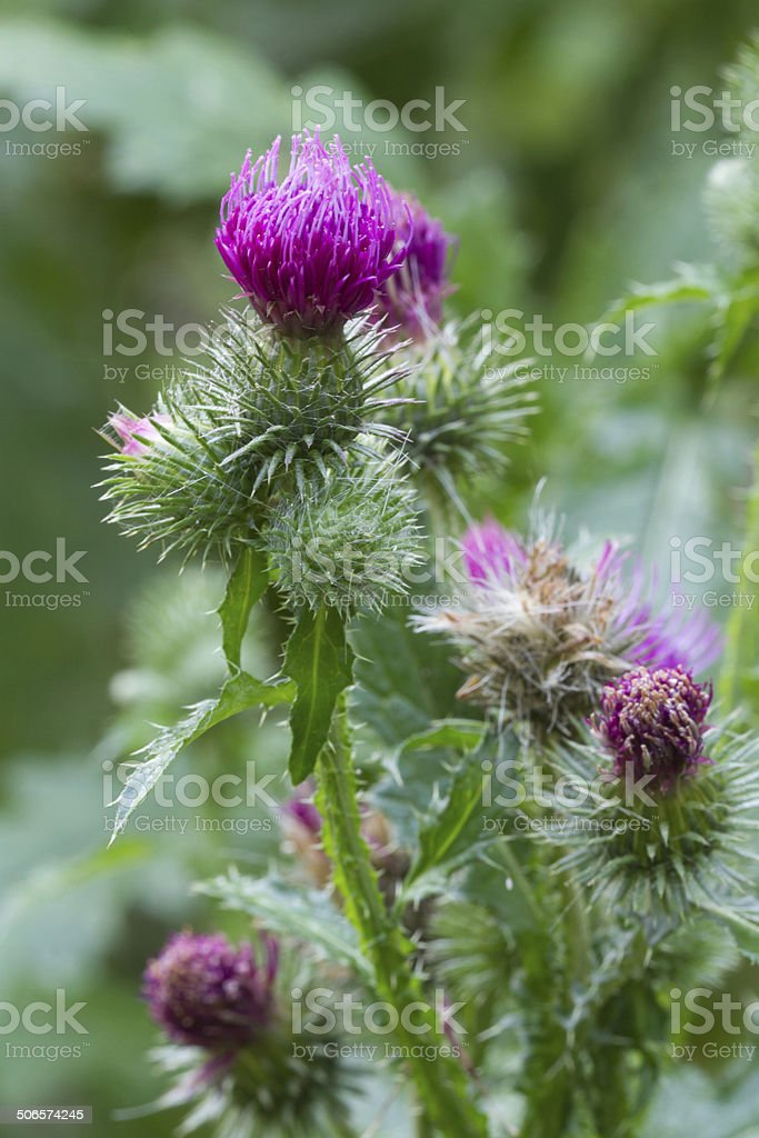 blooming thistle closeup outdoor vertical stock photo