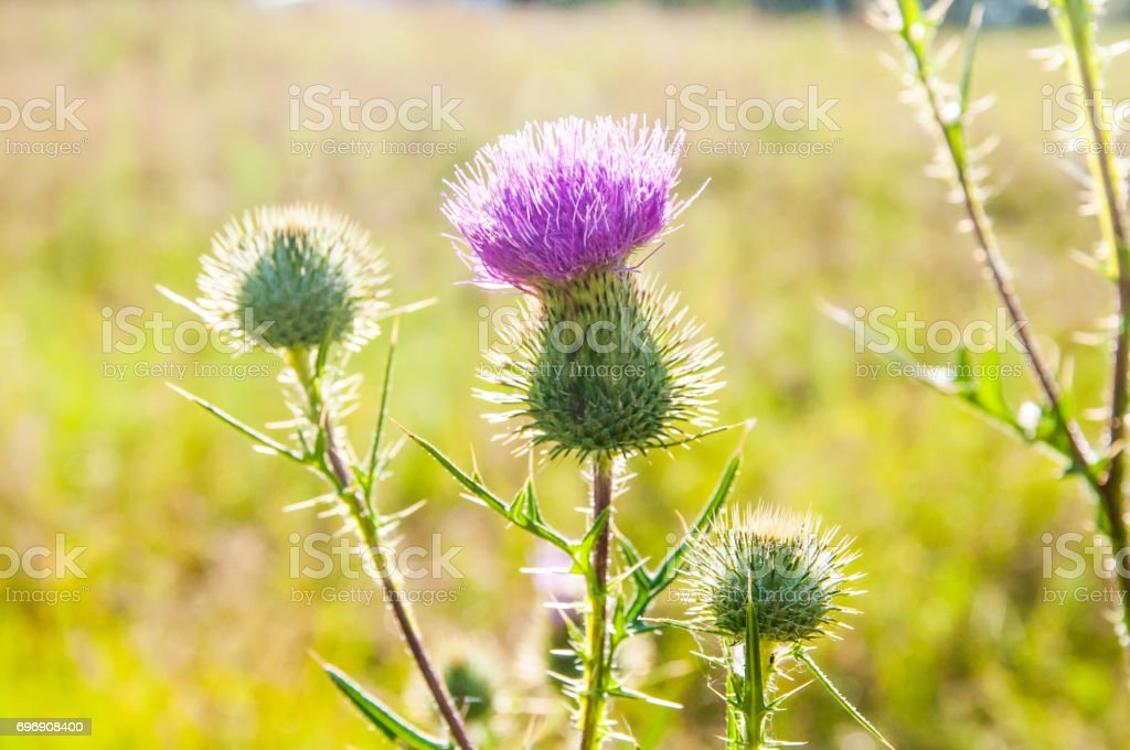 Blooming thistle in the field in the middle of the sunny summer day - foto stock