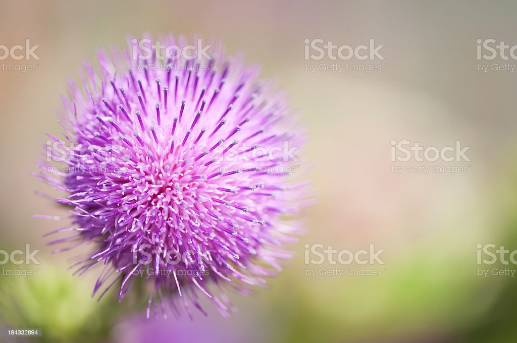 Blooming Thistle Series stock photo