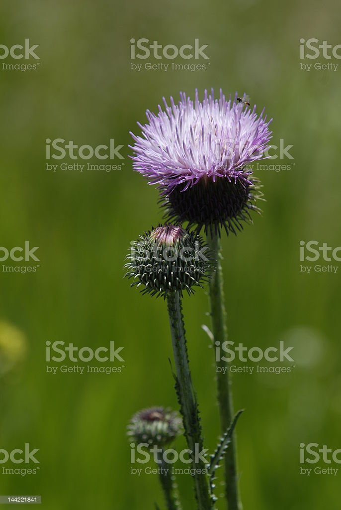 blooming thistles royalty-free stock photo