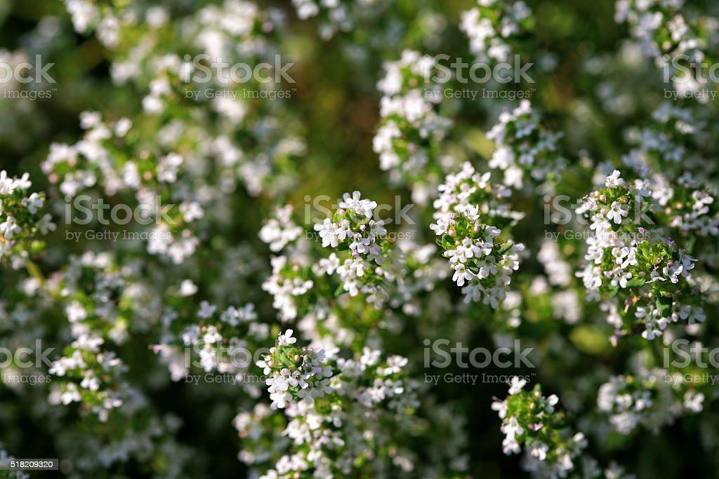 Blooming Thyme (Thymus vulgaris) stock photo