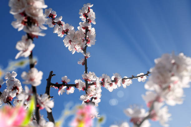blooming tree branches in springtime stock photo