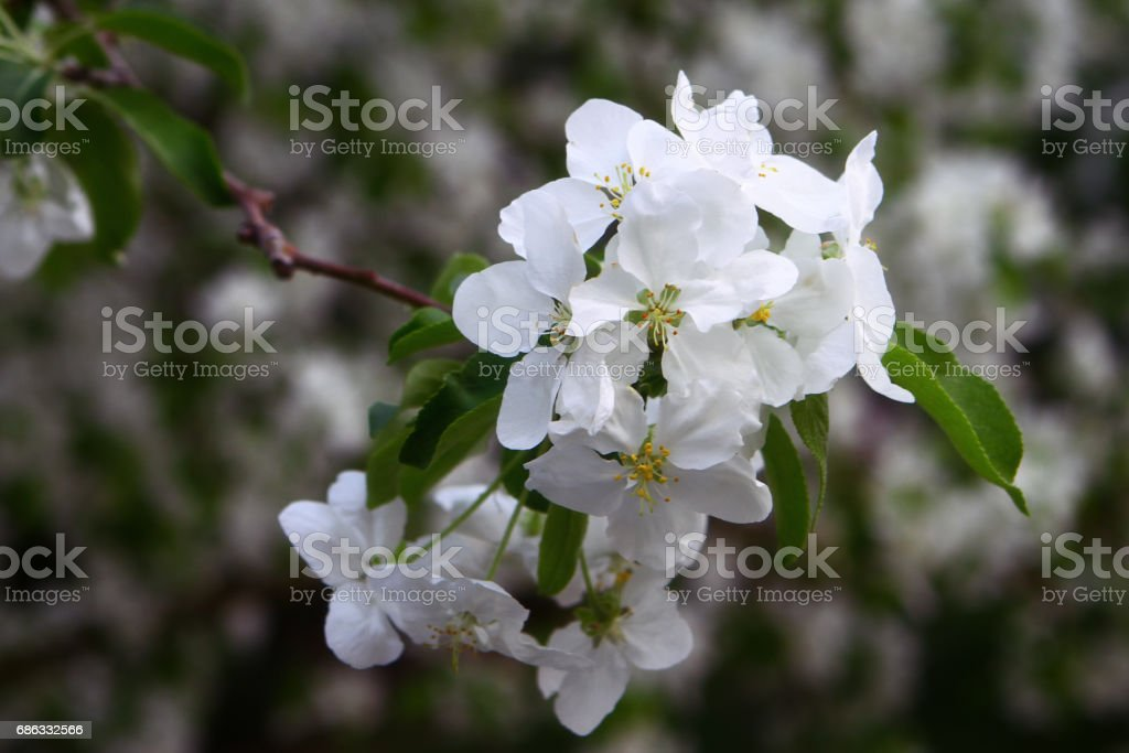 Blooming tree branches with white flowers stock photo more blooming tree branches with white flowers royalty free stock photo mightylinksfo