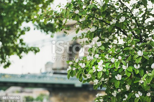istock Blooming tree in front of Szechenyi bridge 681789150
