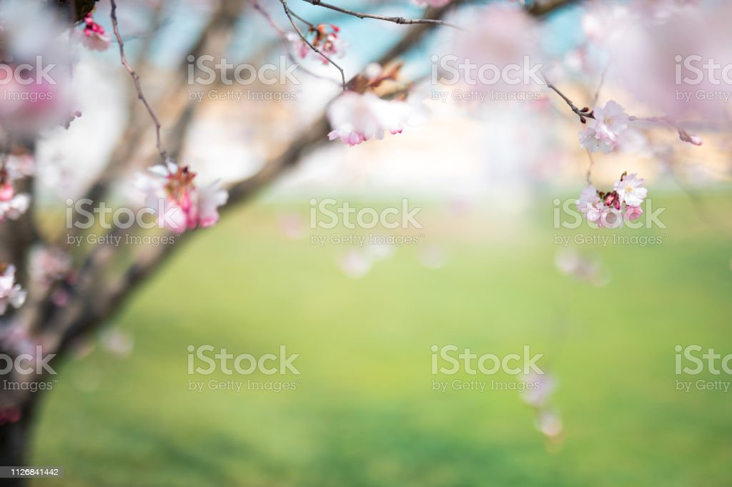 Blooming Tree In Park stock photo