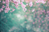 Spring background with cherry blossoms.