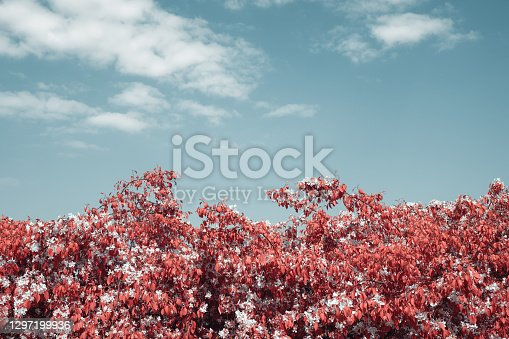 Blooming tree in spring. Infrared Aerochrome look.