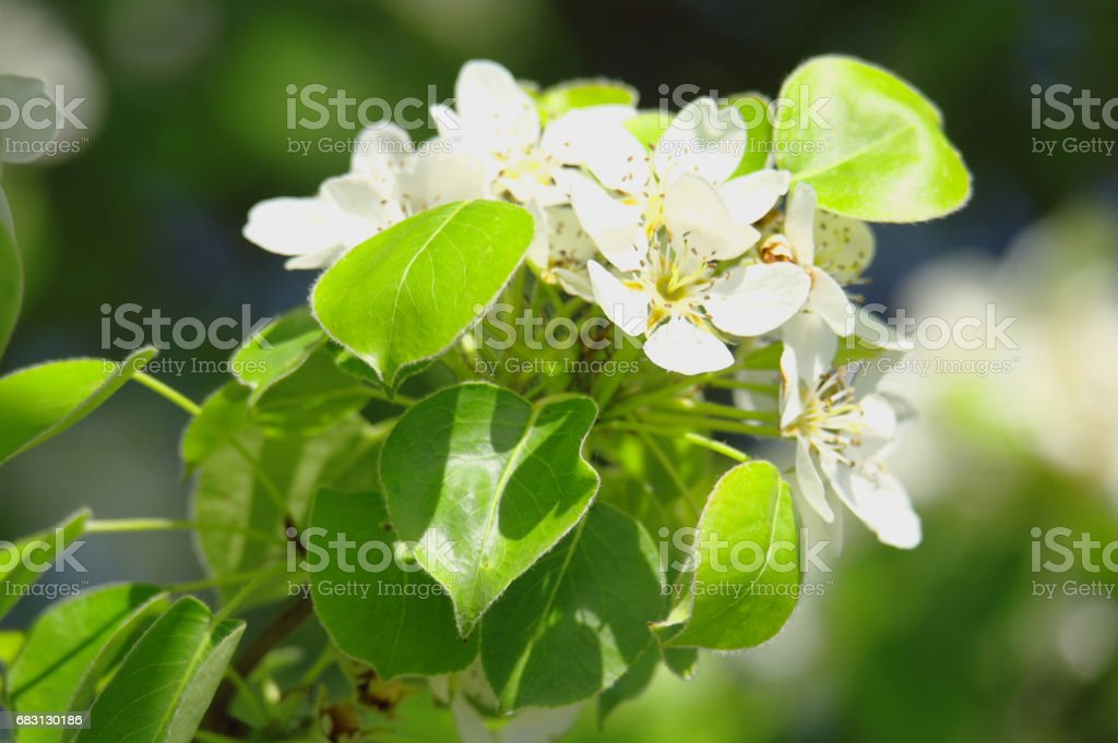 Blooming tree in spring time 免版稅 stock photo