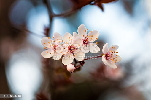 Close up macro color image depicting a blossoming tree in spring with fresh white (prunus) flowers.