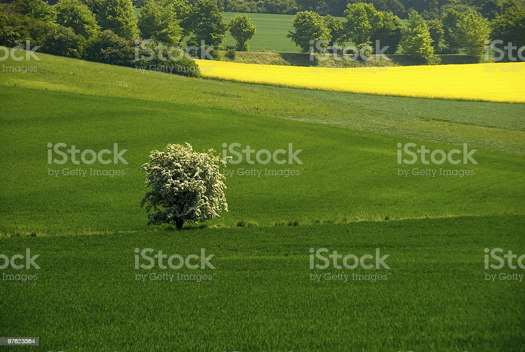 Blooming tree in the field royalty-free stock photo