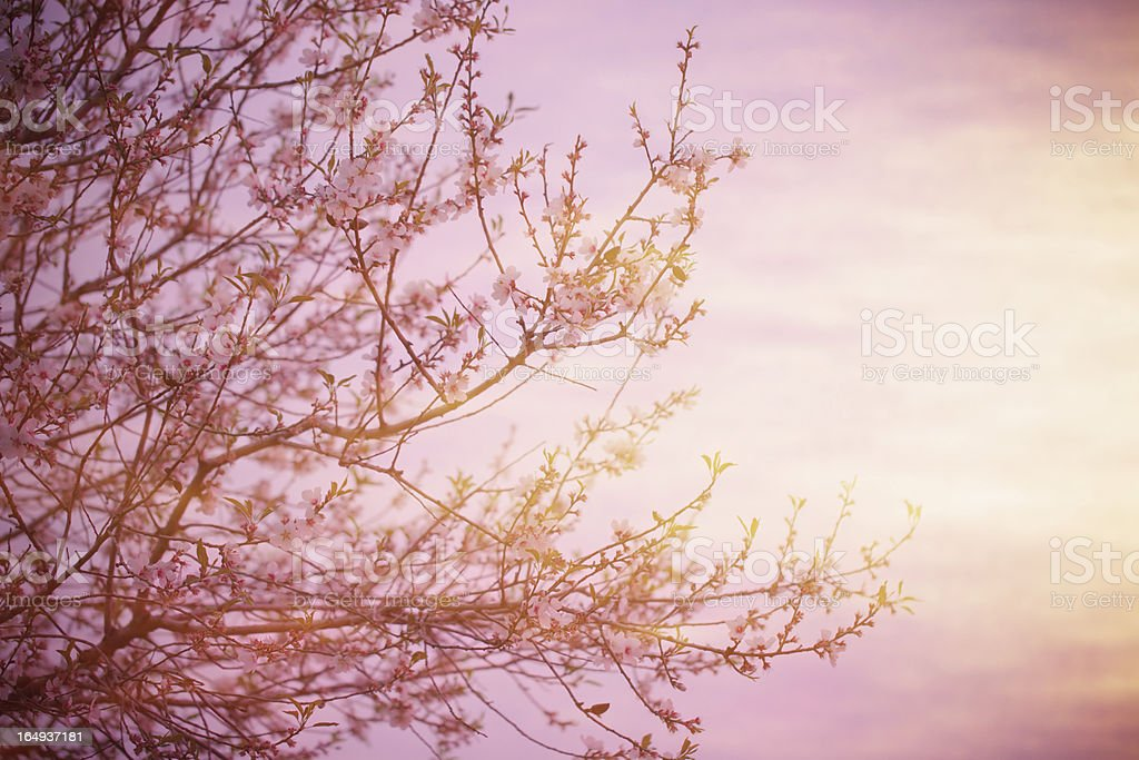 Blooming tree over sunset royalty-free stock photo