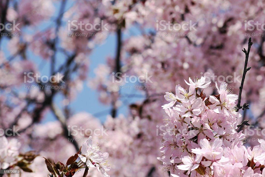 Blühende Baum – Foto