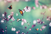 Colorful butterflies flying around pink cherry blossoms.