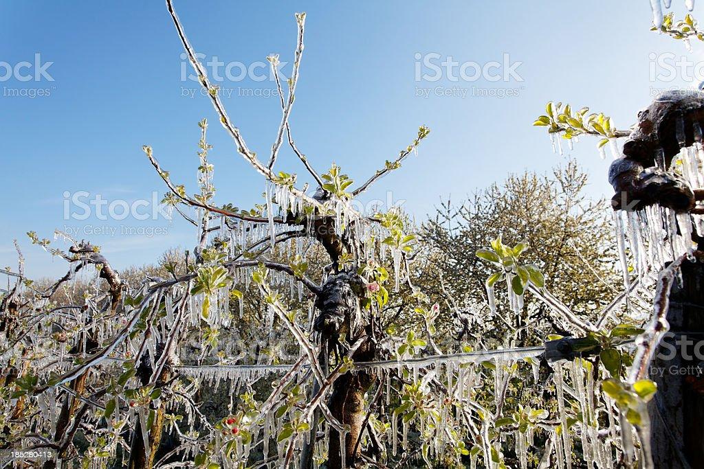 Blühender Baum im Frühjahr mit Eis – Foto