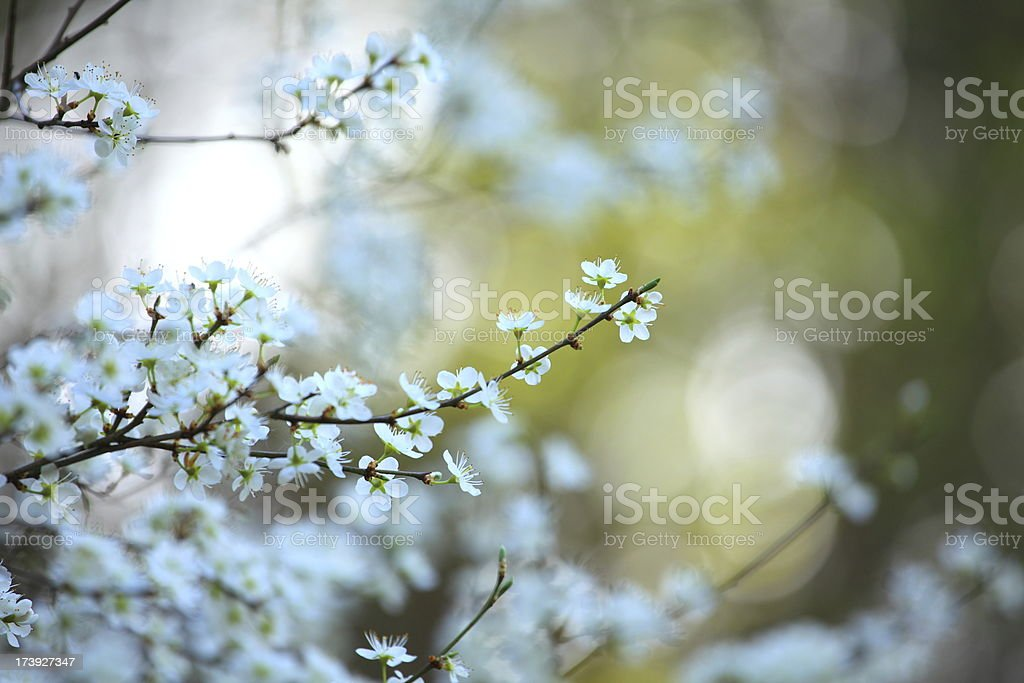 Blooming tree XXXL royalty-free stock photo