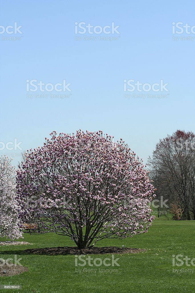 Blooming trees in a park royalty-free stock photo