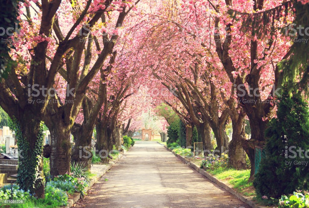Blooming trees in spring stock photo