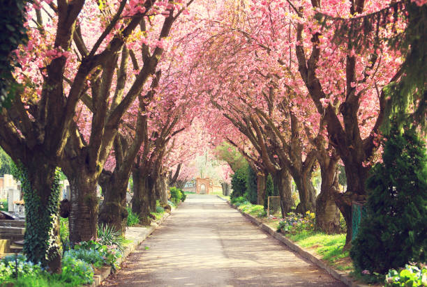 blooming trees in spring - blossom stock pictures, royalty-free photos & images