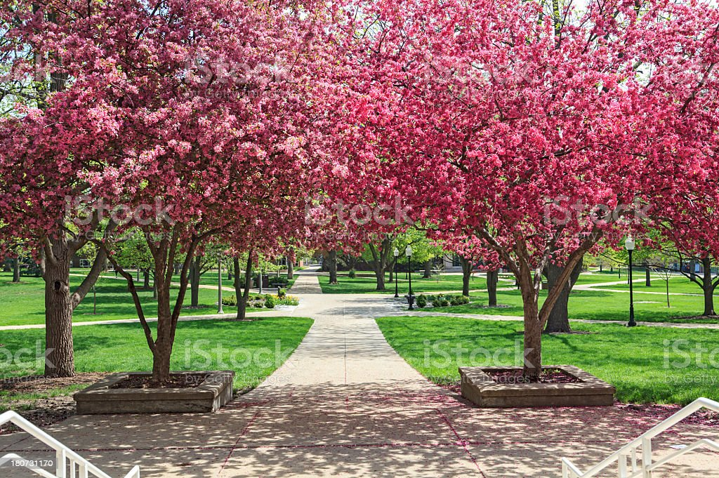 Blooming Trees on Illinois State University stock photo