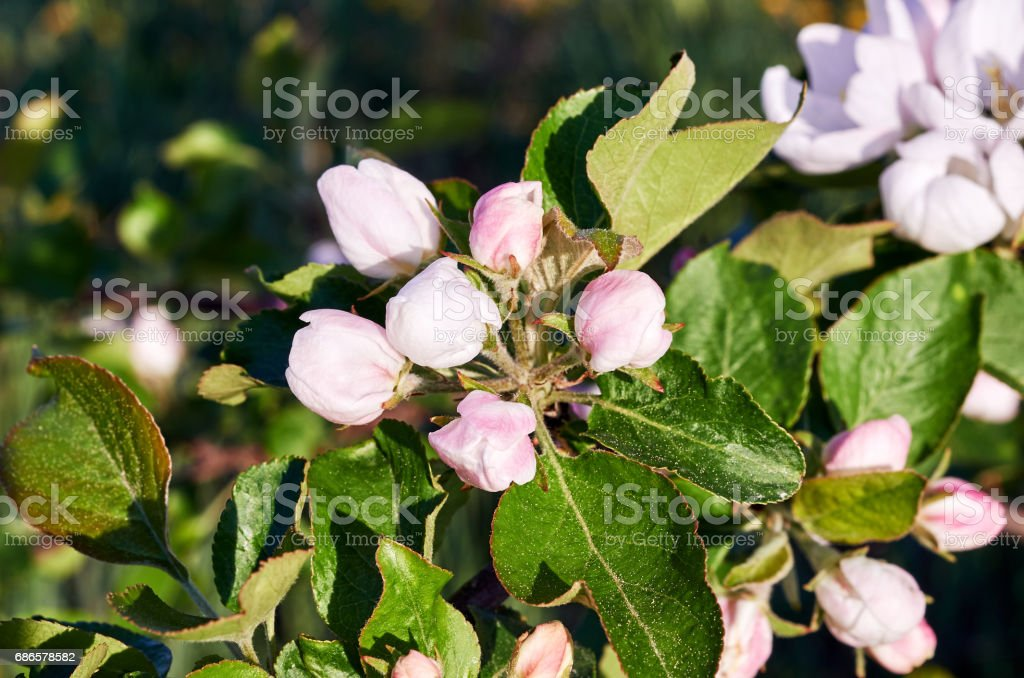 Blooming trees royalty-free stock photo