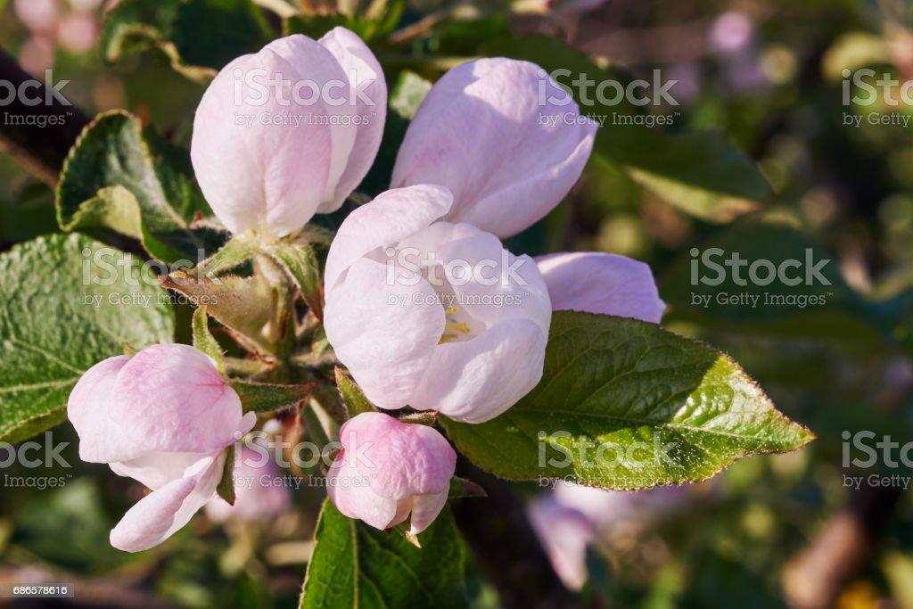 Florecer árboles de foto de stock libre de derechos