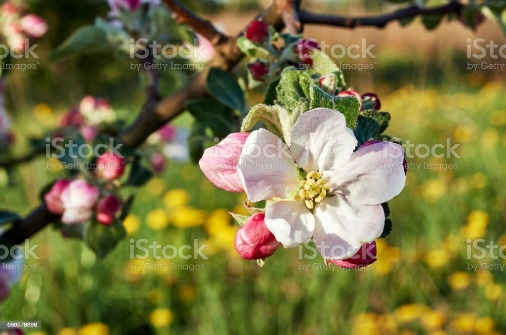 Blooming trees foto stock royalty-free