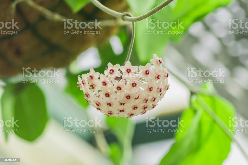 blooming tropical plant hanging over head in botanical garden. Hoya carnosa stock photo