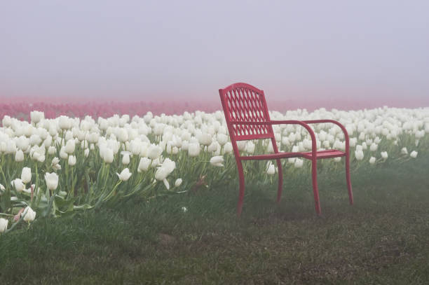 Blooming tulip fields in the fog stock photo
