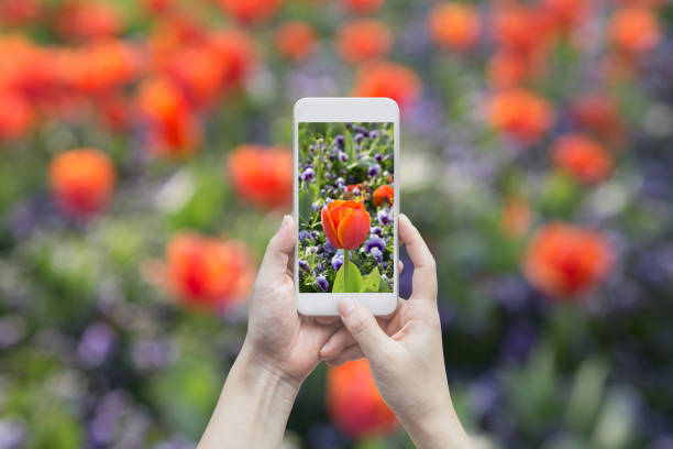 Blooming tulip on the gadget screen picture id948369588?b=1&k=6&m=948369588&s=612x612&w=0&h=ld ntlow1mlp39n24d5vbsqt4i0awjvtan6f6ol4n48=