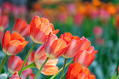 istock Blooming tulip 1223107920