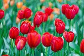 Blooming tulip