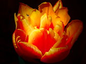 A vibrant blooming tulip features colors in Vivid yellow orange and red.