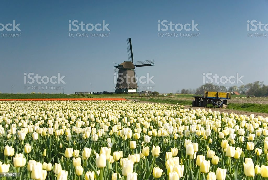 Blooming tulips field in spring royalty-free stock photo