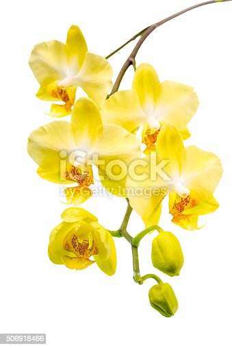 blooming twig beautiful yellow with bud orchid, phalaenopsis is isolated on white background, closeup