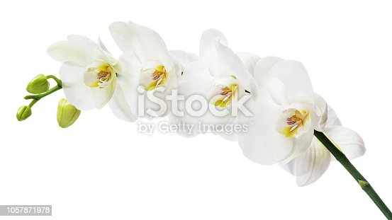 White orchid branch with large flowers isolated on white background. Blooming twig of Phalaenopsis orchid flower.