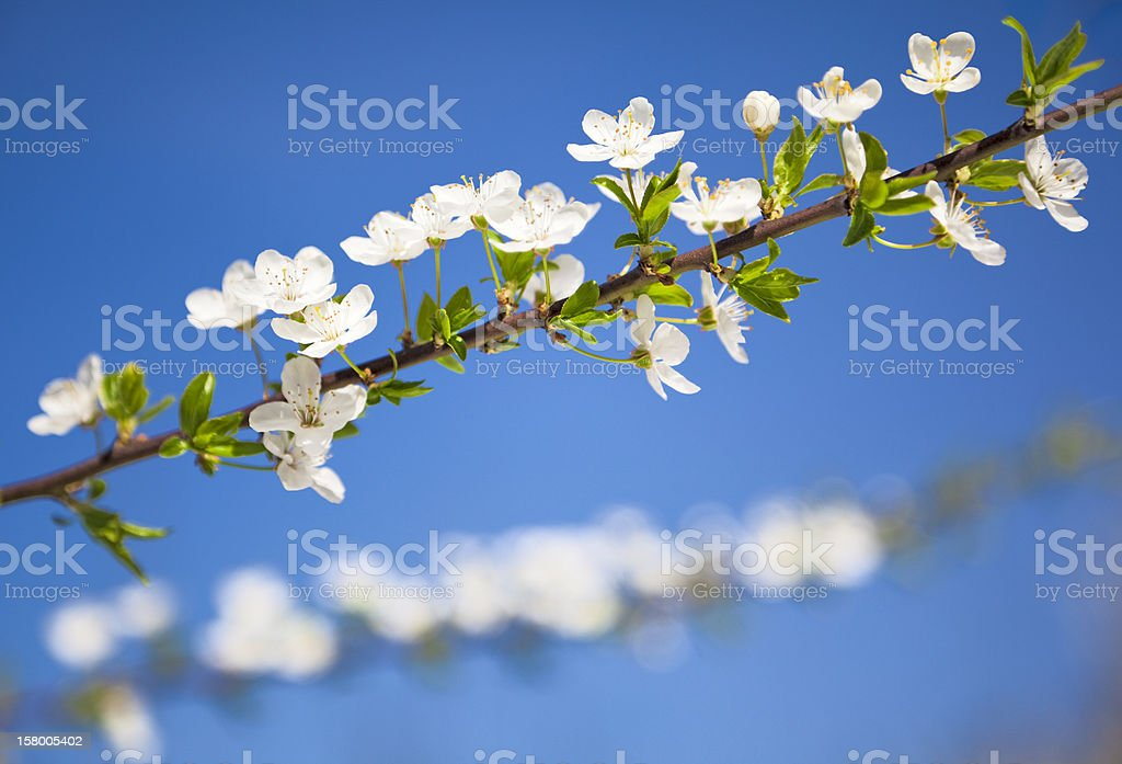 Blooming twig royalty-free stock photo