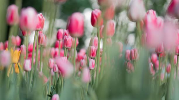 Floreciente de dos tonos de tulipanes rosados y blancos con cogollos que crecen en el jardín. - foto de stock